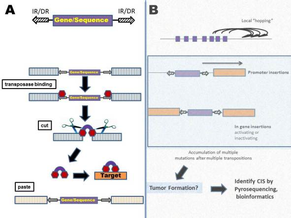 transposon mediated insertional mutagenesis in gene discovery Knowledge of the genes and genetic pathways involved in onco-genesis is essential if we are to identify novel targets for cancer therapy insertional mutagenesis in mouse models is among the most efficient tools to detect novel cancer genes.