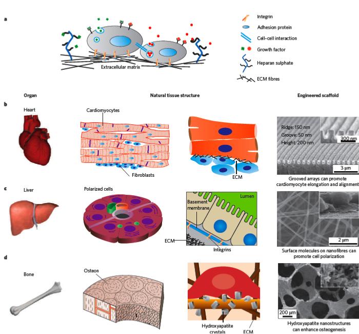 history of injectable tissue engineering Biomedical engineering - carnegie mellon university  and in vitro amplification for tissue engineering  in vitro biocompatibility of injectable.
