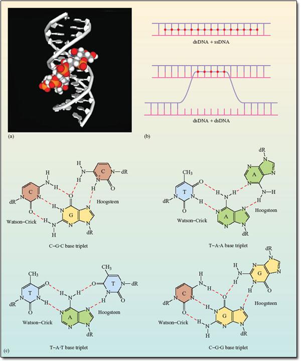 DNA base triplets