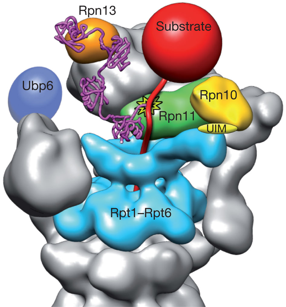 nature10774-f6.2 (1)  tetra-ubiquitin chain conjugated to the undtructured initiation region of a substrate and bound to the ubiquitin receptor Rpn13. substrate poised for deubiquination by Rpn11