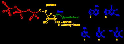 Nucleotides_1.svg