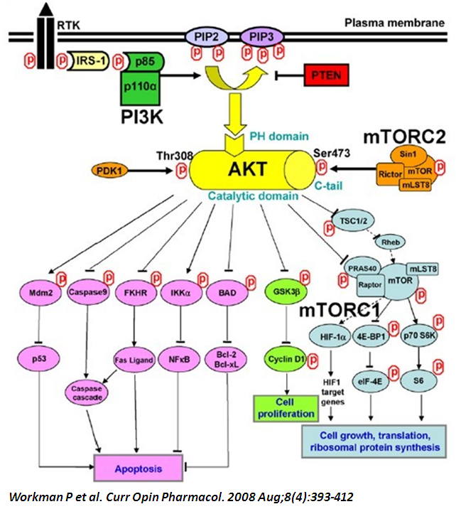 Akt inhibition for cancer treatment, where do we stand today?