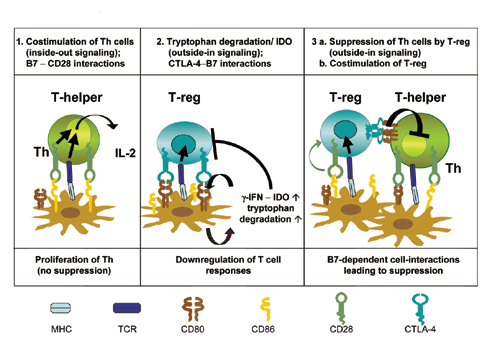 T-reg, regulatory T cells; Th, T helper; CTLA-4, cytotoxic T lymphocyte-associated antigen 4; TCR, T cell receptor; IDO, indoleamine 2,3-dioxygenase. (refernece: http://www.pnas.org/content/101/28/10398/suppl/DC)