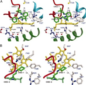 Active site of IDO–PI complex. (A) Stereoview of the residues around the heme of IDO viewed from the side of heme plane. The proximal ligand H346 is H-bonded to wa1. The 6-propionate of the heme contacts with wa2 and R343 Nε. The wa2 is H-bonded to wa1, L388 O, and 6-propionate. Mutations of F226, F227, and R231 do not lose the substrate affinity but produce the inactive enzyme. Two CHES molecules are bound in the distal pocket. The cyclohexan ring of CHES-1 (green) contacts with F226 and R231. The 7-propionate of the heme interacts with the amino group of CHES-1 and side chain of Ser-263. The mutational analyses for these distal residues are shown in Table 1. (B) Top view of A by a rotation of 90°. The proximal residues are omitted. (http://www.pnas.org/content/103/8/2611/F3.expansion.html)