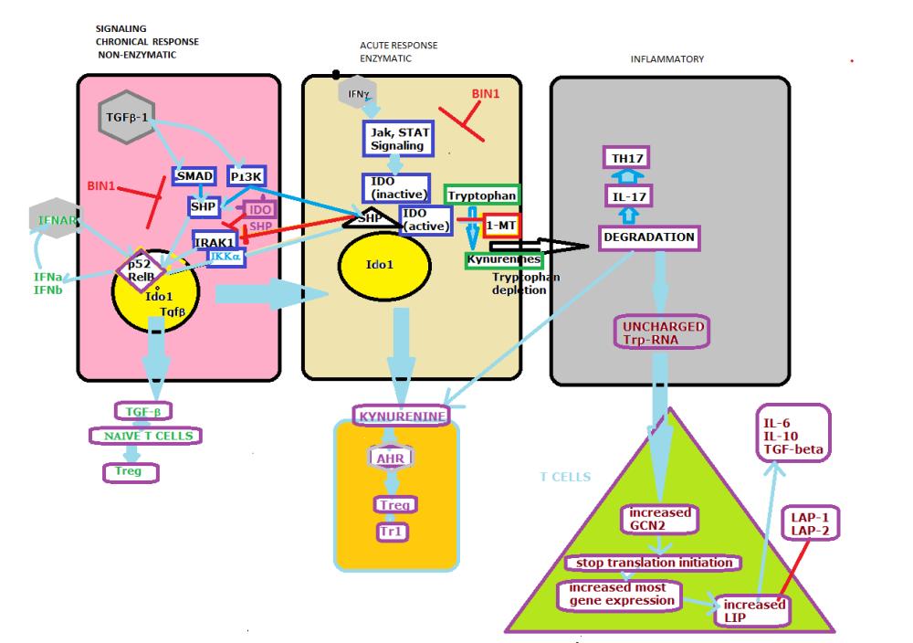 Confined Indolamine 2, 3 dioxygenase (IDO) Controls the Hemeostasis of Immune Responses for Good and Bad (6/6)