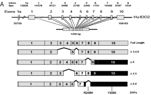 A: Structure of human IDO2 gene and transcripts. Complete coding region is 1260 bps encoding a 420 aa polypeptide. Alternate splice isoforms lacking the exons indicated are noted. Hatch boxes represent a frameshift in the coding region to an alternate reading frame leading to termination. Black boxes represent 3' untranslated regions. Nucleotide numbers, intron sizes, and positioning are based on IDO sequence files NW_923907.1 and GI:89028628 in the Genbank database. (reference: http://atlasgeneticsoncology.org/Genes/IDO2ID44387ch8p11.html)