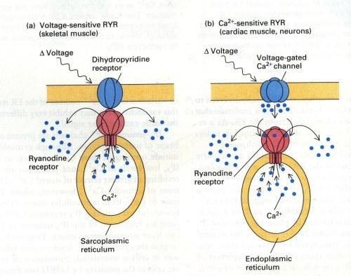 receptors voltage gated Ca(2) channel