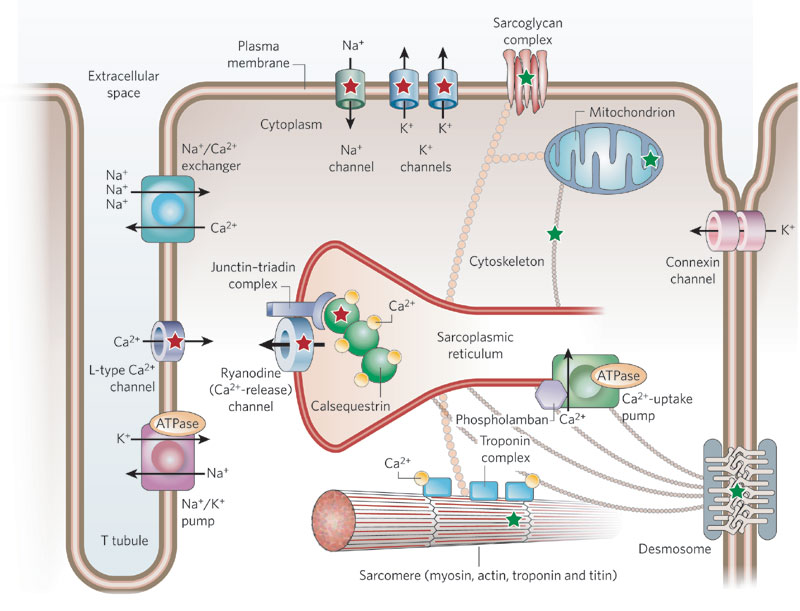 The Centrality of Ca(2+) Signaling and Cytoskeleton Involving Calmodulin Kinases and Ryanodine Receptors in Cardiac Failure, Arterial Smooth Muscle, Post-ischemic Arrhythmia, Similarities and Differences, and Pharmaceutical Targets (2/6)