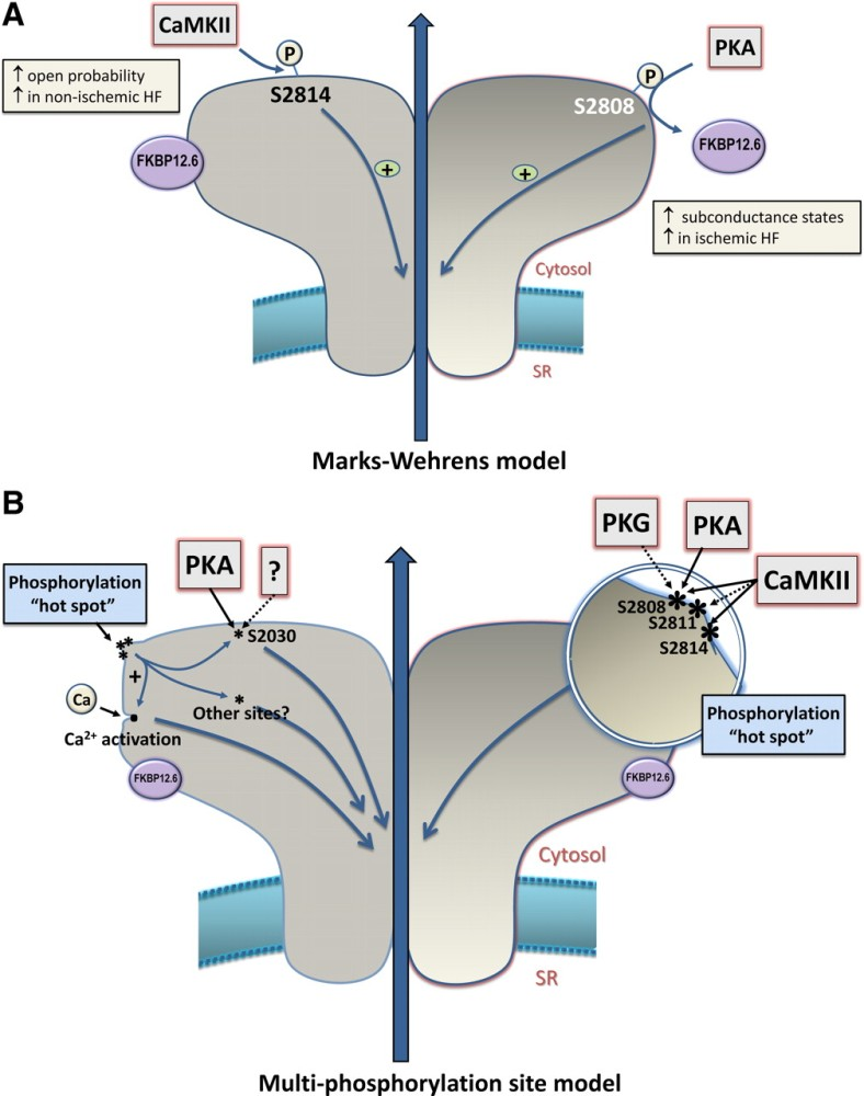 The Centrality of Ca(2+) Signaling and Cytoskeleton Involving Calmodulin Kinases and Ryanodine Receptors in Cardiac Failure, Arterial Smooth Muscle, Post-ischemic Arrhythmia, Similarities and Differences, and Pharmaceutical Targets (4/6)