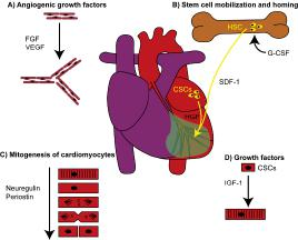 Figure 1. Regeneration of the heart by 4 different classes of proteins
