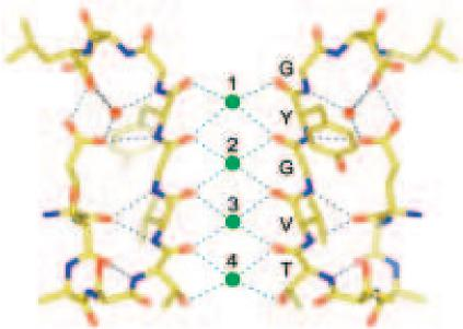 MacKinnon Figure 6. Detailed structure of the K+ selectivity filter