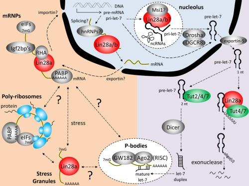 nihms459462f1  stem cells Lin28