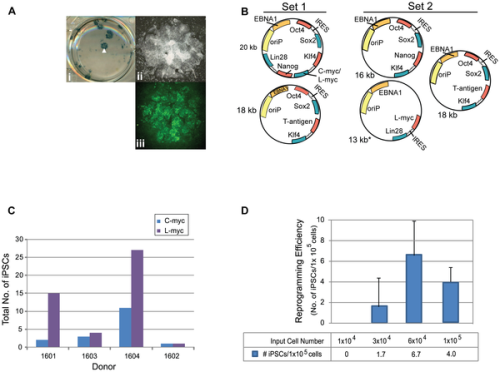 journal.pone.0027956.g003  Figure 3. Plasmid transfections to optimize reprogramming efficiency.