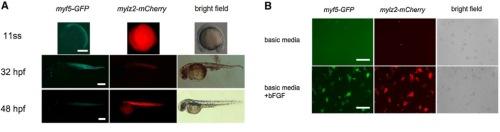 zebrafish-embryos-glow-red  myosin light polypeptide 2 gene