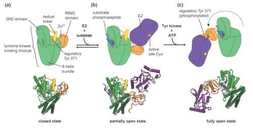 1741-7007-11-65-4  Fig 4. Regulatory rearrangements in Cbl proteins.
