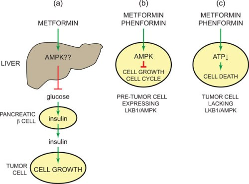 AMPK-activating drugs metformin or phenformin might provide protection against cancer 1741-7007-11-36-5