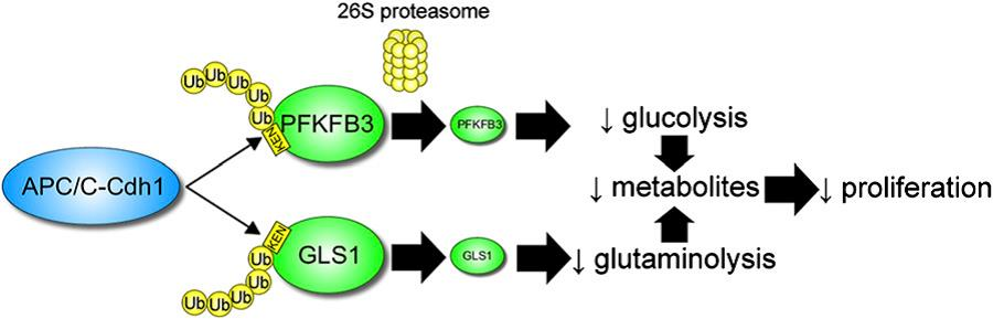 Fig. 1. Mechanism by which APC_C-Cdh1 inhibits glycolysis and glutaminolysis to suppress cell proliferation