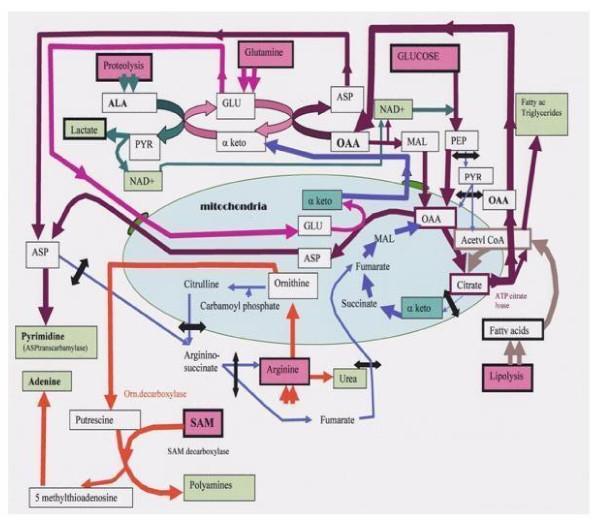 metabolic pathways 1476-4598-10-70-1