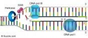 dna-replication-primer-removal
