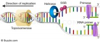 dna-replication-primer-synthesis