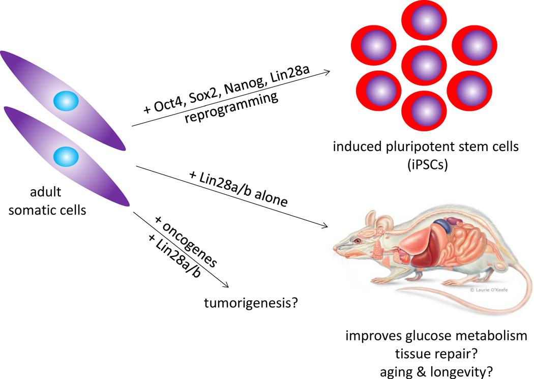 stem cell lin28