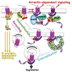 Arrestin binding to active GPCR kinase (GRK)-phosphorylated GPCRs blocks G protein coupling