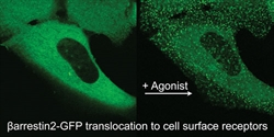fluorescently tagged Arrestin and GPRC of interest