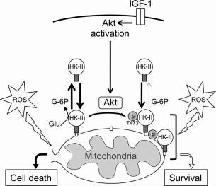 HK-II Phosphorylation