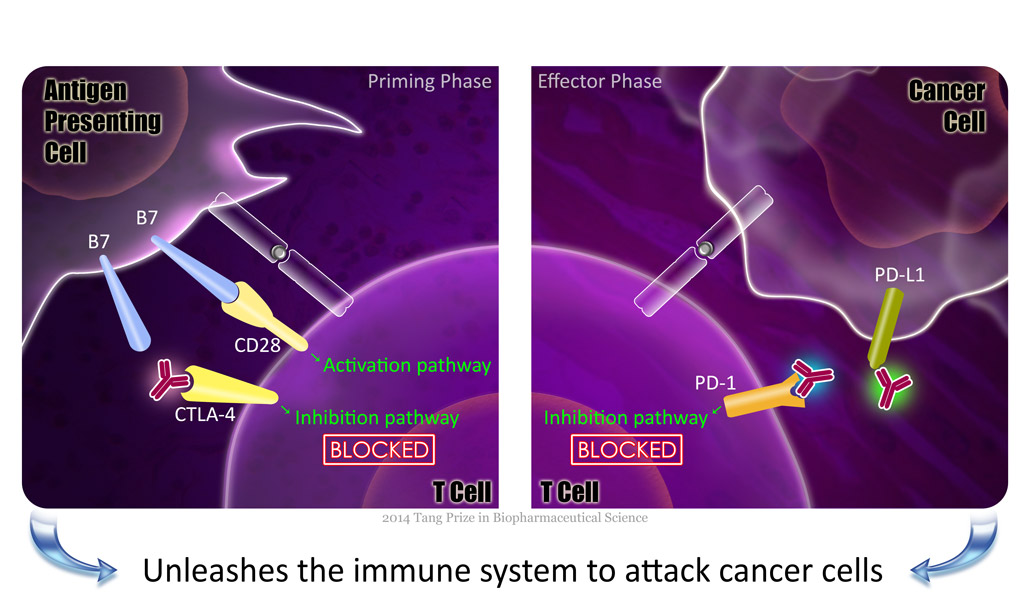 unleashes immune system to attack cancer cells