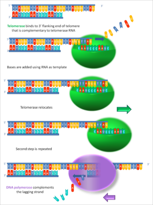 -Working_principle_of_telomerase