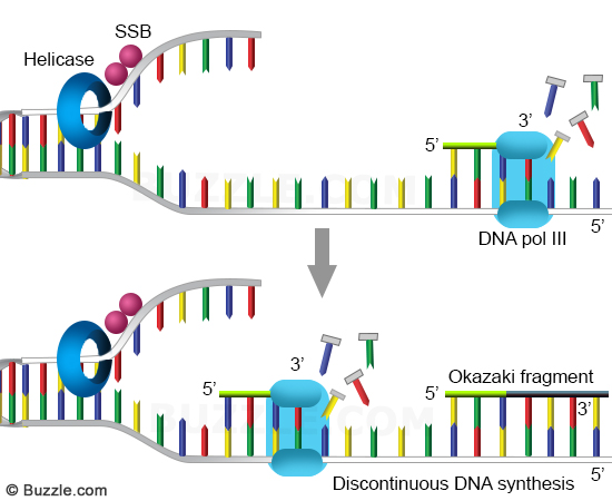 A Primer on DNA and DNA Replication | Leaders in Pharmaceutical ...
