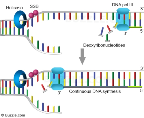 dna-replication-leading-strand