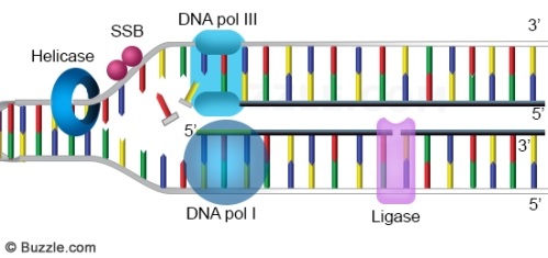 dna-replication-ligation