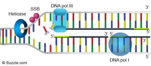 dna-replication-primer-removal