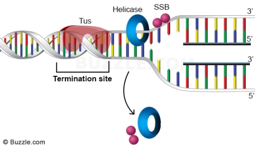 dna-replication-termination