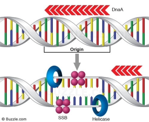 dna-replication-unwinding