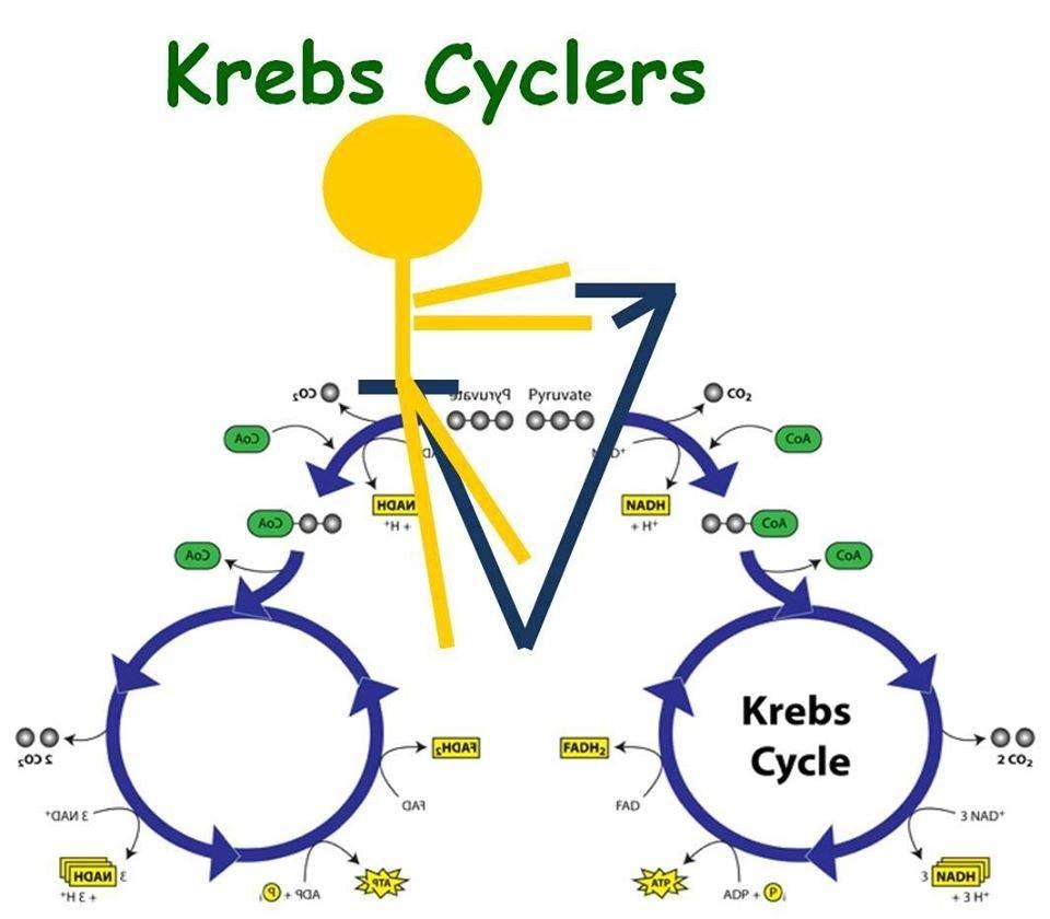 Krebs_Cycler_1402785124