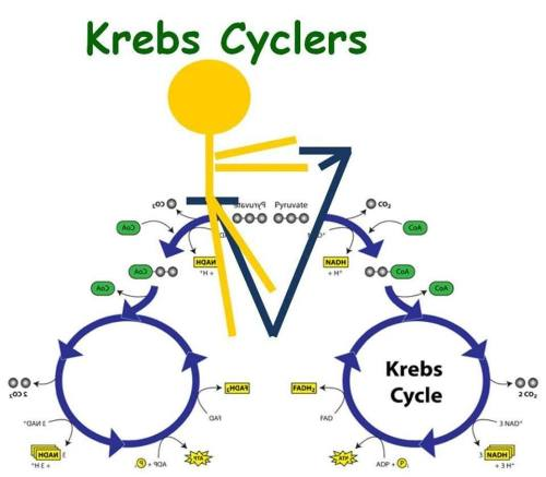 Krebs_Cycler_1402785124