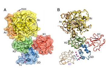 prothrombin (FII)