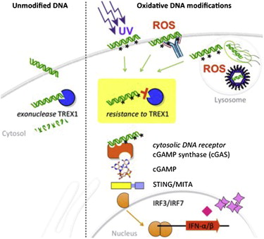 ribonuclease TREX1 and immunity