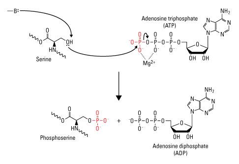 Serine Phosphorylation