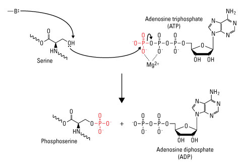 Serine Phosphorylation