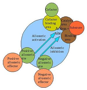 Enzyme_Model  allosterism