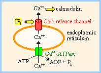 calcium release calmodulin + ER