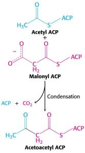 condensation reaction with malonyl ACP