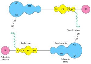 Fatty Acid Synthase