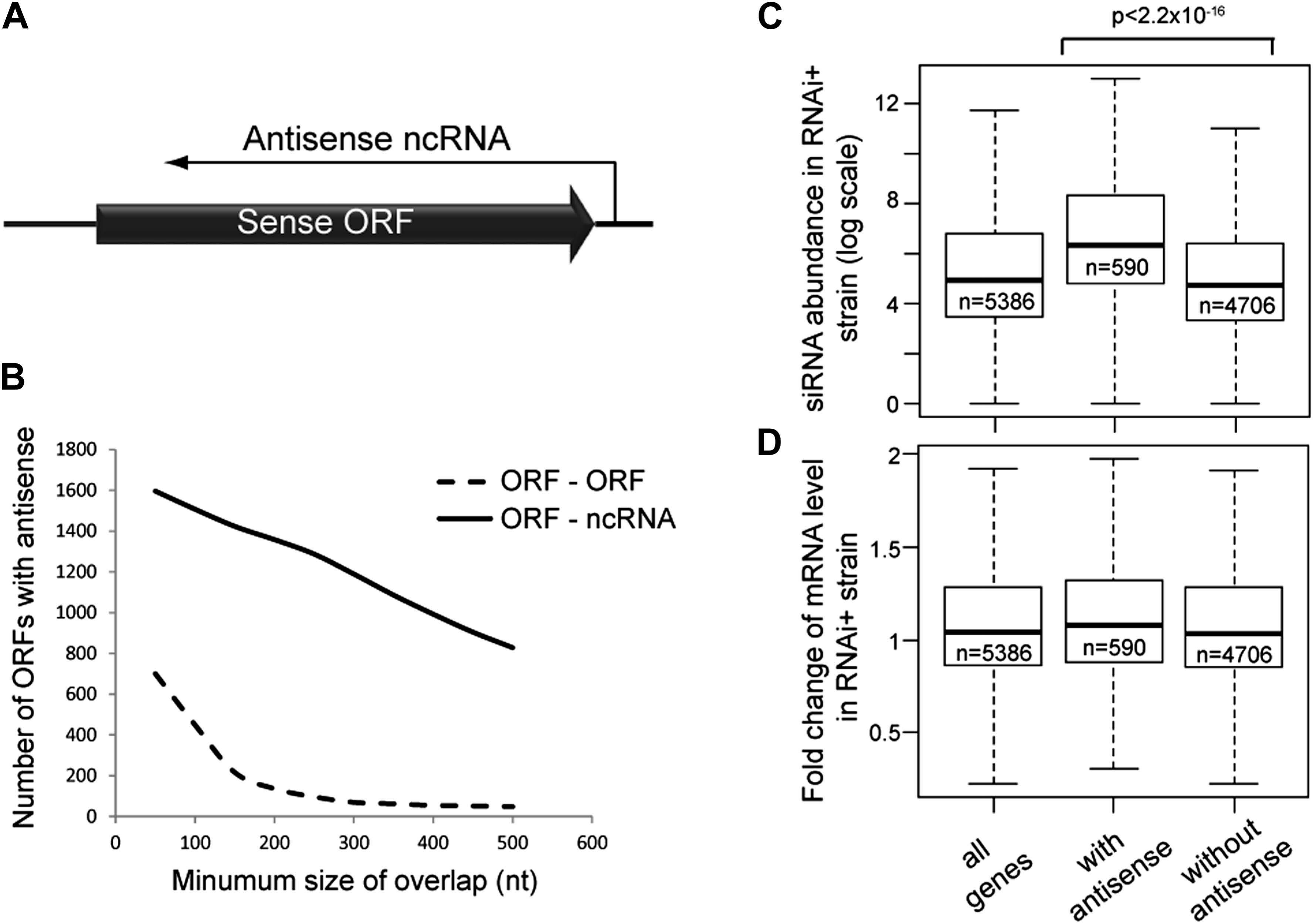 Frequency of annotated antisense non-protein coding RNAs