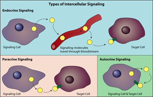 intercellular signaling