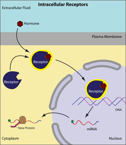 intracellular_receptor_steroid