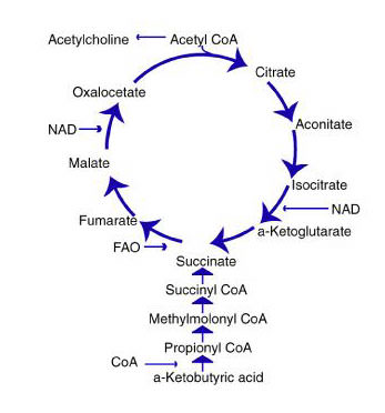 Krebs1 cycle